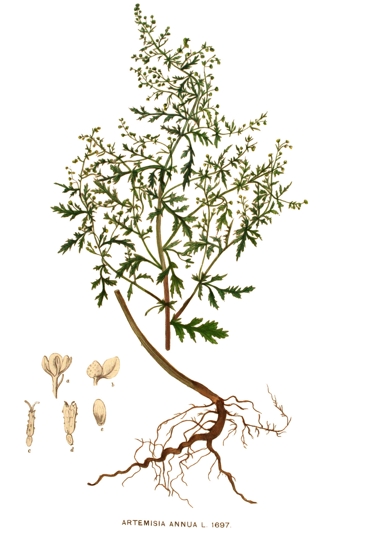 PHOTO: ARTEMISIA ANNUA / WIKIMEDIA COMMONS.